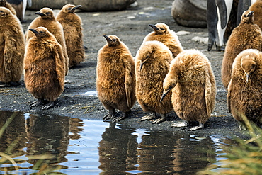 Juvenile King Penguins (Aptenodytes Patagonicus) Standing At The Water's Edge
