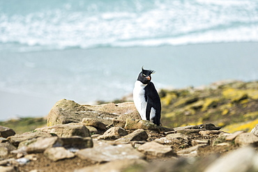 Rockhopper Penguin (Eudyptes) On The Shore With Surf Washing Onto Shore