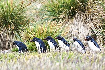 Gentoo Penguins (Pygoscelis Papua) Walking In A Row