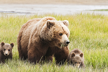 Brown Bear (Ursus Arctos) Sow Grazing With Her Cubs In A Grass Field