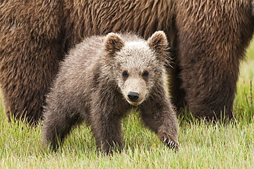 Brown Bear (Ursus Arctos) Cub In A Grass Field Beside It's Mother