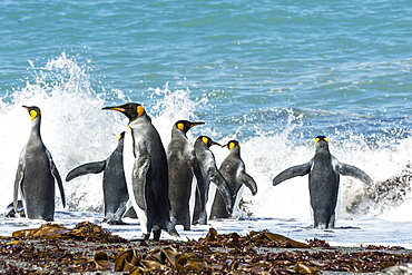 King Penguins (Aptenodytes Patagonicus) Splashing In The Surf, Antarctica