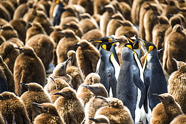 Colony Of King Penguins (Aptenodytes Patagonicus) And Juveniles, Antarctica