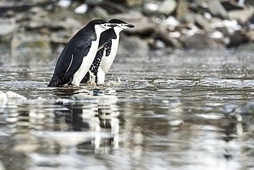 Chinstrap Penguins (Pygoscelis Antarctica), Elephant Island, South Shetland Islands, Antarctica