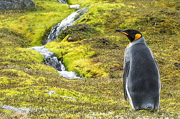 King Penguin (Aptenodytes Patagonicus) Standing Alone On The Tundra With A Cascading Stream, Grytviken, South Georgia, South Georgia And The South Sandwich Islands, United Kingdom