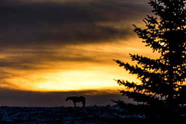 Silhouette Of A Horse Standing On The Prairies At Sunrise, Near Longview, Alberta, Canada