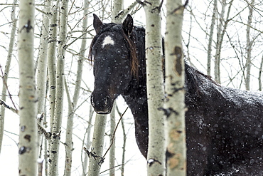 Wild Horse In A Snowstorm, Turner Valley, Alberta, Canada