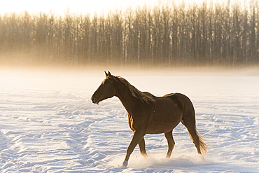 A Horse Walking Across A Snow Covered Field In Fog At Sunrise, Cremona, Alberta, Canada