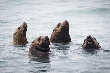 Stellar Sea Lions (Eumetopias Jubatus) Swimming, South-Central Alaska, Alaska, United States Of America
