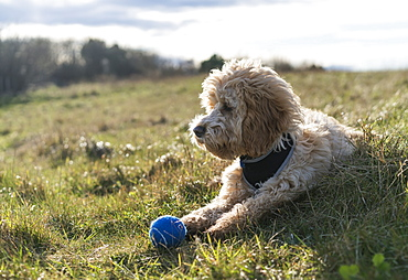 Cockapoo Laying On The Grass With A Blue Ball, South Shields, Tyne And Wear, England