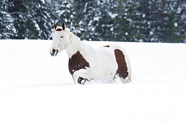 A White And Brown Horse Walking In The Deep Snow On A Ranch In Winter, Montana, United States Of America