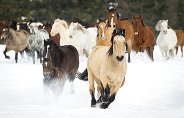 Horses Running On A Ranch In Winter, Montana, United States Of America