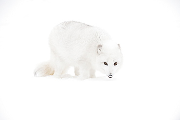 Arctic Fox (Vulpes Lagopus) In The Snow, Triple D Ranch, California, United States Of America