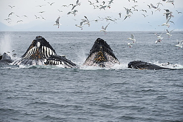 Humpback Whales (Megaptera Novaeangliae) Bubble Feeding In The Seward Harbour, Seward, Alaska, United States Of America