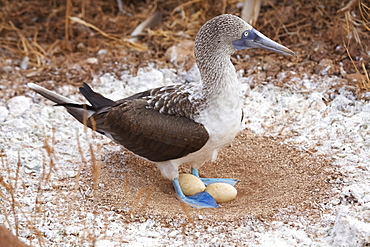 Blue-Footed Booby In Nest With Eggs, Galapagos