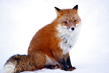 Red Fox (Vulpes Vulpes) Sitting On Snow On Arctic Tundra In Winter, Arctic Coastal Plain, North Slope, Northern Alaska, Alaska, United States Of America