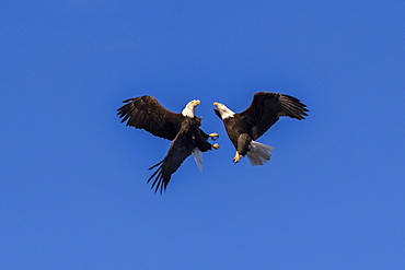 A Pair Of Bald Eagles (Haliaeetus Leucocephalus) That Are Likely Mates Do A Bonding Ritual Of Flying Together And Touching Or Locking Talons Together And Then Tumbling Down Through The Air, South-Central Alaska, Alaska, United States Of America
