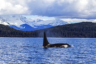 An Orca Whale, Or Killer Whale, (Orcinus Orca) Surface Near Juneau In Lynn Canal, Inside Passage, Alaska, United States Of America