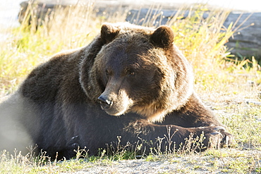 Captive: Grizzly Resting In Afternoon Sunlight At The Alaska Wildlife Conservation Center, Southcentral Alaska