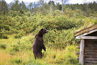 Male Brown Bear (Ursus Arctos) Looks For Other Bears In The Enclosure, Captive At The Alaska Wildlife Conservation Centre, Portage, Alaska, United States Of America