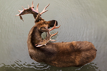 Bull Moose (Alces Alces), Captive, Alaska Wildlife Conservation Centre, Portage, Alaska, United States Of America
