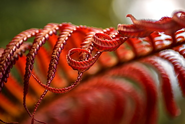 Close Up Of A Crimson Amau Fern, Hawaii, United States Of America