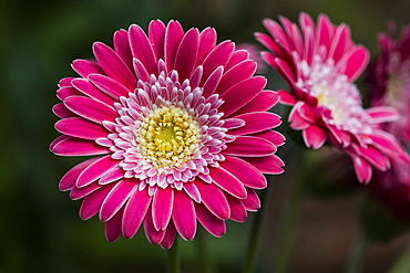 A bright pink Gerbera daisy (Asteraceae) produces showy blossoms, Astoria, Oregon, United States of America