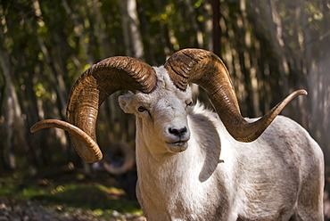 Dall Sheep ram (ovis dalli), captive, Yukon Territory, Canada