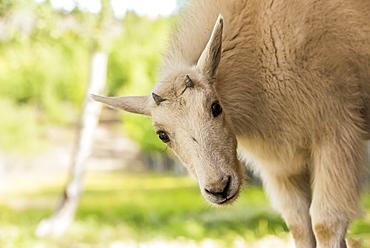 Mountain Goat (oreamnos americanus) kid, captive, Yukon Territory, Canada