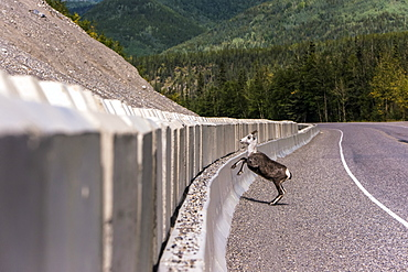 Stone sheep (Ovis dalli stonei) jumping over barrier along the Alaska Highway, British Columbia, Canada