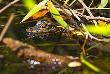 A wild American Alligator (Alligator mississippiensis) hatchling keeps a lookout in the Sebastian River, Alaska, United States of America