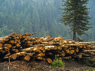 A pile of cut logs and a forest on a mountainside in the background, Riondel, British Columbia, Canada