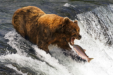A Brown Bear (ursus arctos) about to catch a salmon in it's mouth at the top of Brooks Falls, Alaska. The fish is only a few inches away from its gaping jaws. Shot with a Nikon D800 in July 2015, Alaska, United States of America