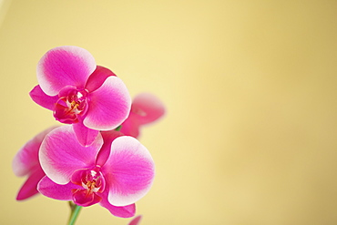 Pink orchids on a golden background, Hawaii, United States of America