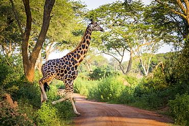 A Giraffe (Giraffa) Crossing A Road, Murchison Falls National Park, Uganda