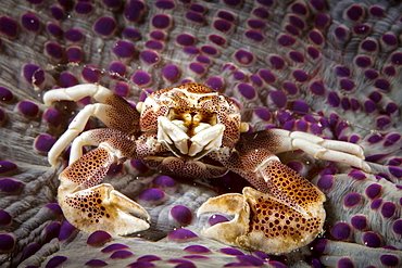 Spotted Porcelain Crab (Porcellana Sayana) On Top Of Anenome, Moalboal, Cebu, Central Visayas, Philippines