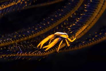 Crinoid Squat Lobster (Allogalathea Elegans), Moalboal, Cebu, Central Visayas, Philippines