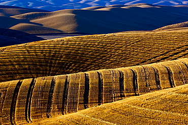 Harvested Fields On Rolling Hills With Shadows Cast At Sunset, Washington, United States Of America