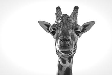 Close-Up Of Giraffe (Giraffa Camelopardalis) Looking At Camera, Cabarceno, Cantabria, Spain