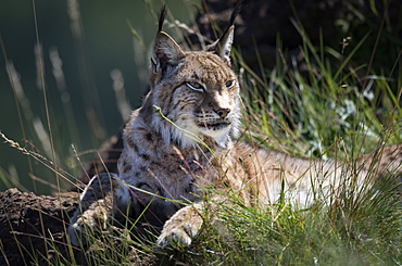 Canada Lynx (Lynx Canadensis) Lying On Grassy Rock Looking To The Right, Cabarceno, Cantabria, Spain