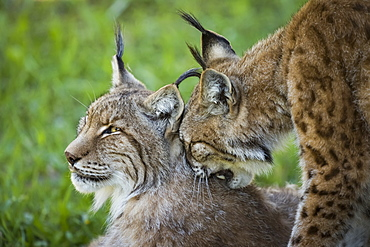 Close-Up Of Canada Lynx (Lynx Canadensis) Grooming Another, Cabarceno, Cantabria, Spain