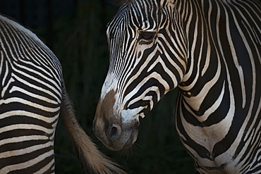 Close-Up Of Grevy's Zebra (Equus Grevyi) Head And Hindquarters, Cabarceno, Cantabria, Spain
