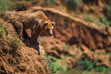 Brown Bear (Ursus Arctos) Leaning Out Over Rocky Slope, Cabarceno, Cantabria, Spain