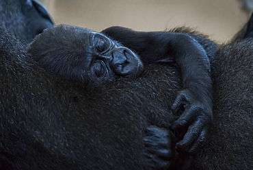 Baby Western Lowland Gorilla (Gorilla Gorilla Gorilla) Asleep In Arms Of Mother, Cabarceno, Cantabria, Spain