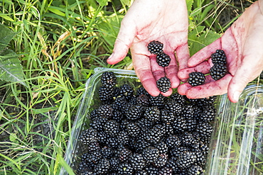 Woman's Hand Showing Freshly Picked Blackberries, Tunuyan, Mendoza, Argentina