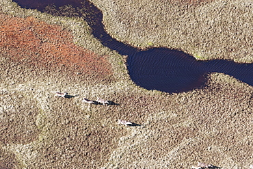 Caribou (Rangifer Tarandus Caribou) Roaming The Arid Landscape, North Slope Borough, Alaska, United States Of America
