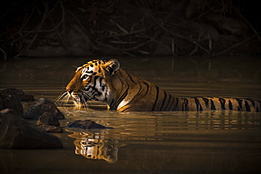 A Bengal Tiger (Panthera Tigris Tigris) In The Sunlight In A Water Hole Shrouded In Dark Shadows, Chandrapur, Maharashtra, India