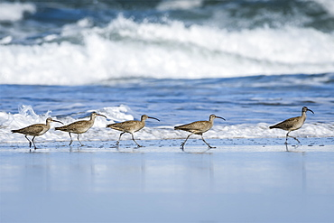 Whimbrels (Numenius Phaeopus) Look For Sand Crabs On The Beach In Oregon, Newport, Oregon, United States Of America
