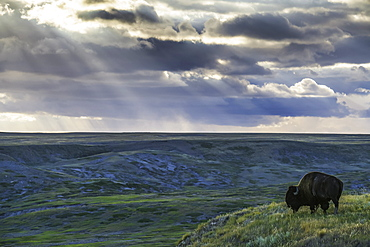 A Lone Bison (Bison Bison) Grazes On The Buttes Of Grasslands National Park, Saskatchewan, Canada