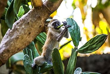 Samango Monkey (Cercopithecus Albogularis) Also Known As Sykes' Monkey In Ibo Island, Quirimbas National Park, Cabo Delgado, Mozambique